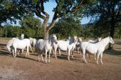 stock photo of lipizzaner  - White Lipizzan Horses On a Meadow in Summer Sun - JPG