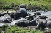 picture of wallow  - Water buffalo wallow in a pool of mud at a buffalo reserve in Hungary - JPG