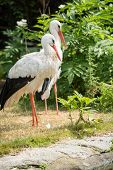 pic of long-legged-birds  - Storks are large long - JPG