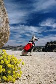stock photo of heeler  - Dog Red Heeler Cattle Dog with red backpack against Summer sky - JPG