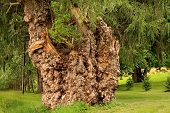 stock photo of weeping willow tree  - Large  weeping willow tree covered with burls - JPG