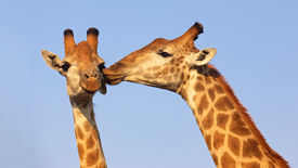 stock photo of special day  - Giraffe pair kissing in the Kruger National Park in South Africa - JPG
