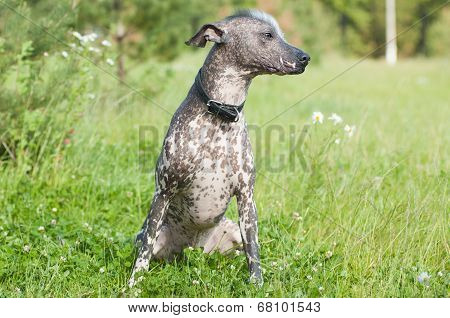 Xoloitzcuintle - Hairless Mexican Dog Portrait