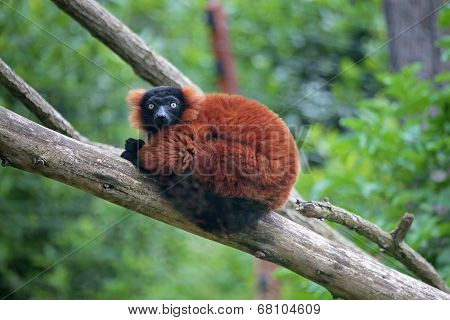 Red Ruffed Lemur On A Tree