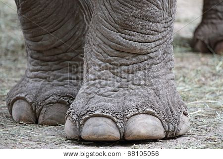 Closeup Of Elephant Feet