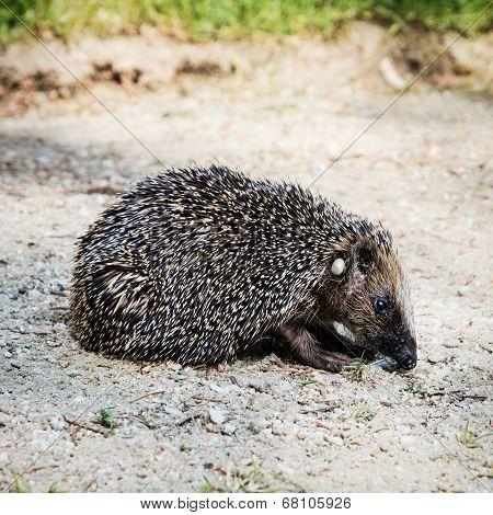 One European Hedgehog (erinaceus Europaeus)