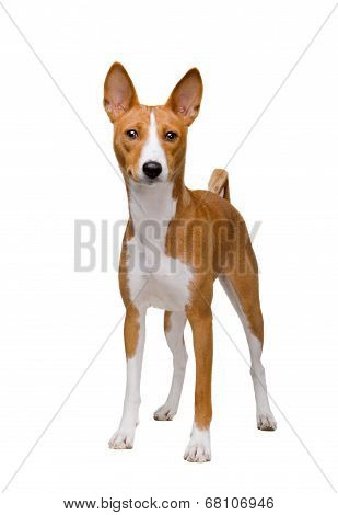 Basenji dog isolated on white