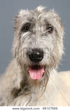 Irish Wolfhound on grey