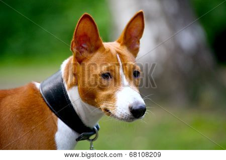 Basenji-dog on the grass