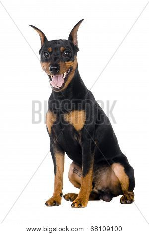 Dwarfish pinscher costs on white