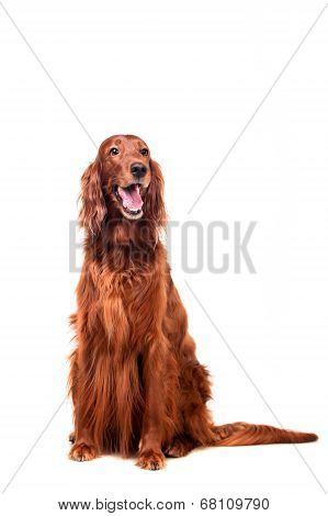 Irish Red Setter on white background