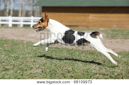 Gorgeous Parson Russell Terrier Running