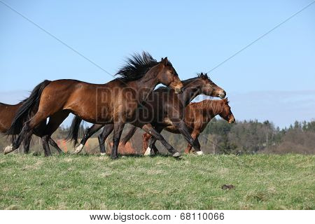 Batch Of Brown Horses Moving In Pasturage