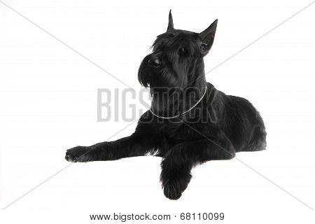 Giant black schnauzer on white