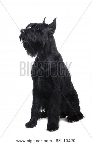 Giant black schnauzer on white