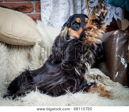 Purebred english cocker spaniel