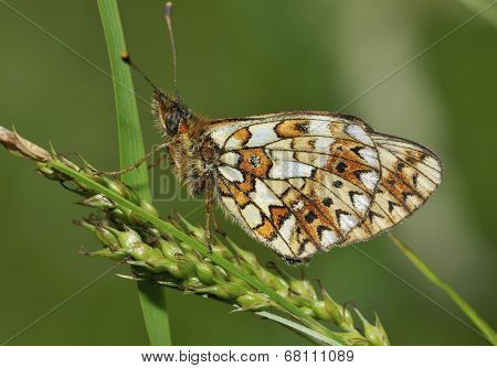 Small Pearl-border Fritillary Butterfly
