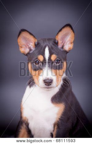 Basenji puppy on the lilac background
