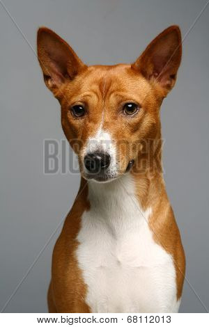 Portrait of a basenji dog