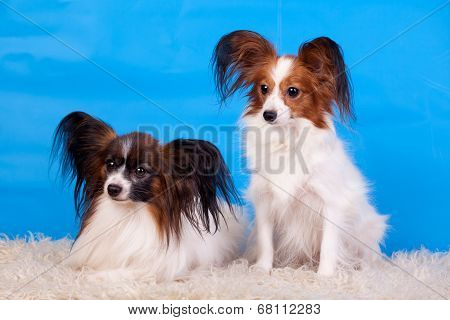 Papillons on blue background