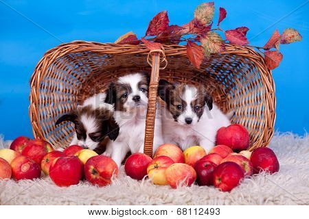 Three Papillon Puppies in basket on blue