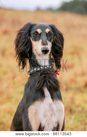 Portrait of young saluki