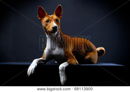 Basenji on the black background