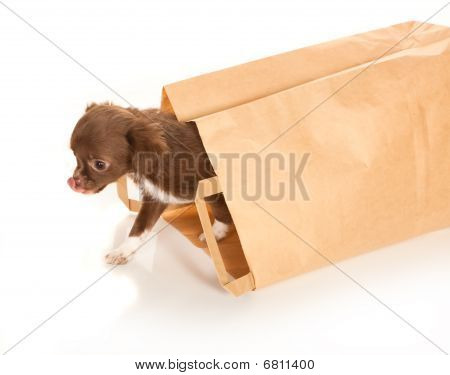 Chihuahua bebê em saco de papel