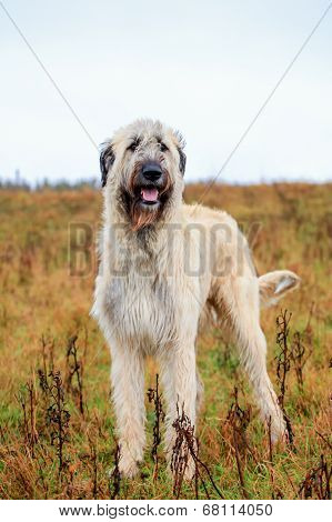 Irish Wolfhound outside