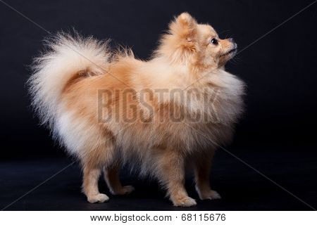 Pomeranian Spitz dog on black