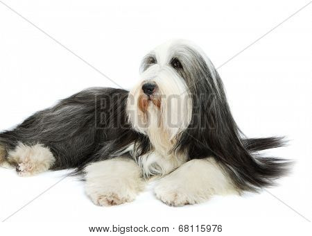 Sheepdog on white background