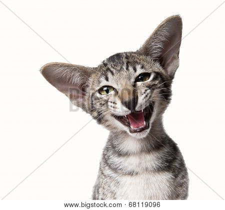 Funny smiling ugly meowing small kitten.