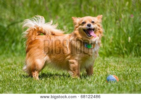 Light Brown Dog With Ball