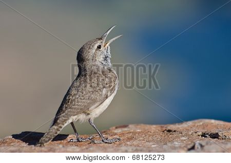 Singing Rock Wren