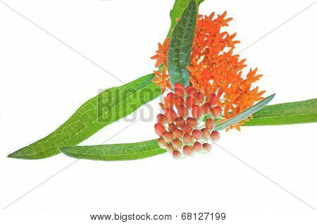 Butterfly Milkweed On White