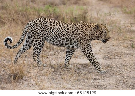 Big Male Leopard Walking In Nature To Mark His Territory