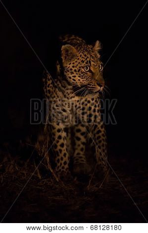 Lovely Female Leopard Walking In Nature Night In Darkness