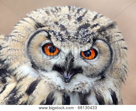The evil eyes. Angry Eagle Owl, Bubo bubo.