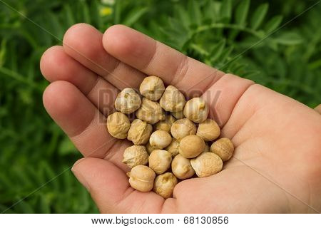 Chickpea Seeds In A Female Palm