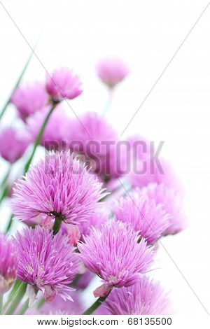 Chives flowers close up