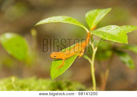 Salamander Leaf