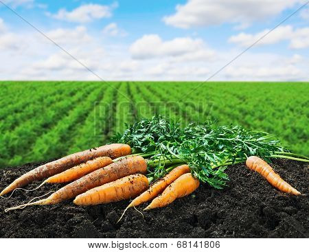 Harvest Carrots On The Ground