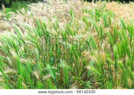 Green spikelets, outdoors