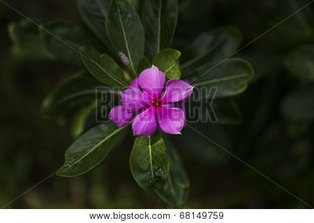Madagascar rosy periwinkle