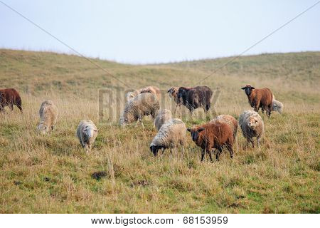 Flock of sheeps on autumn meadow