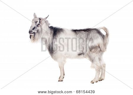 Gray goat on white