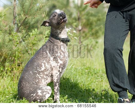 Obedient Xoloitzcuintli. Listen The Order
