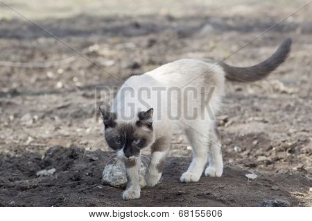 Walking Siamese Cat