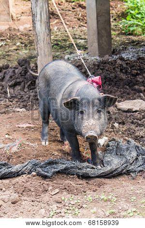Thai Pig, Wild Boar