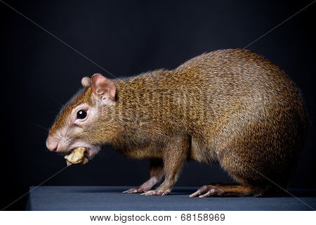 Central American agouti on black